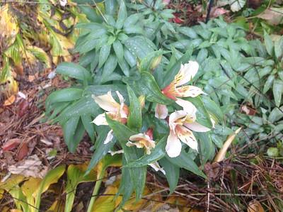Inca Ice Peruvian Lily