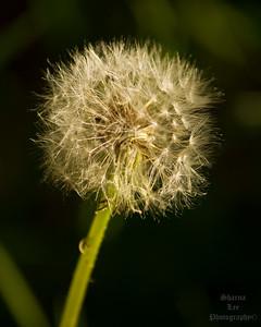 IMG_1000 Dandalion Seed