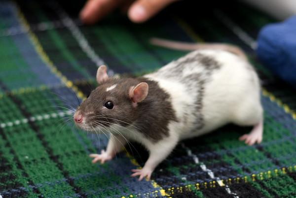 Our Pet Rats