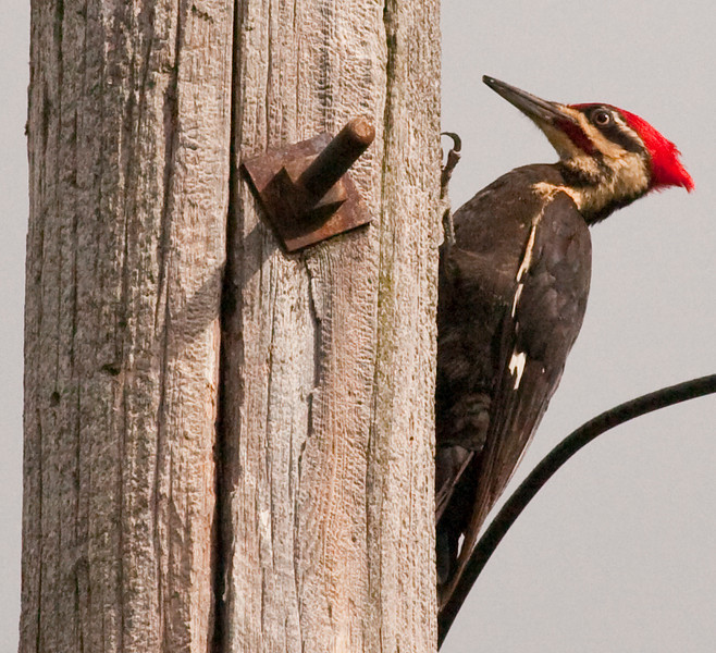 One of the 2 Pileated Woodpecker from around the house this year.