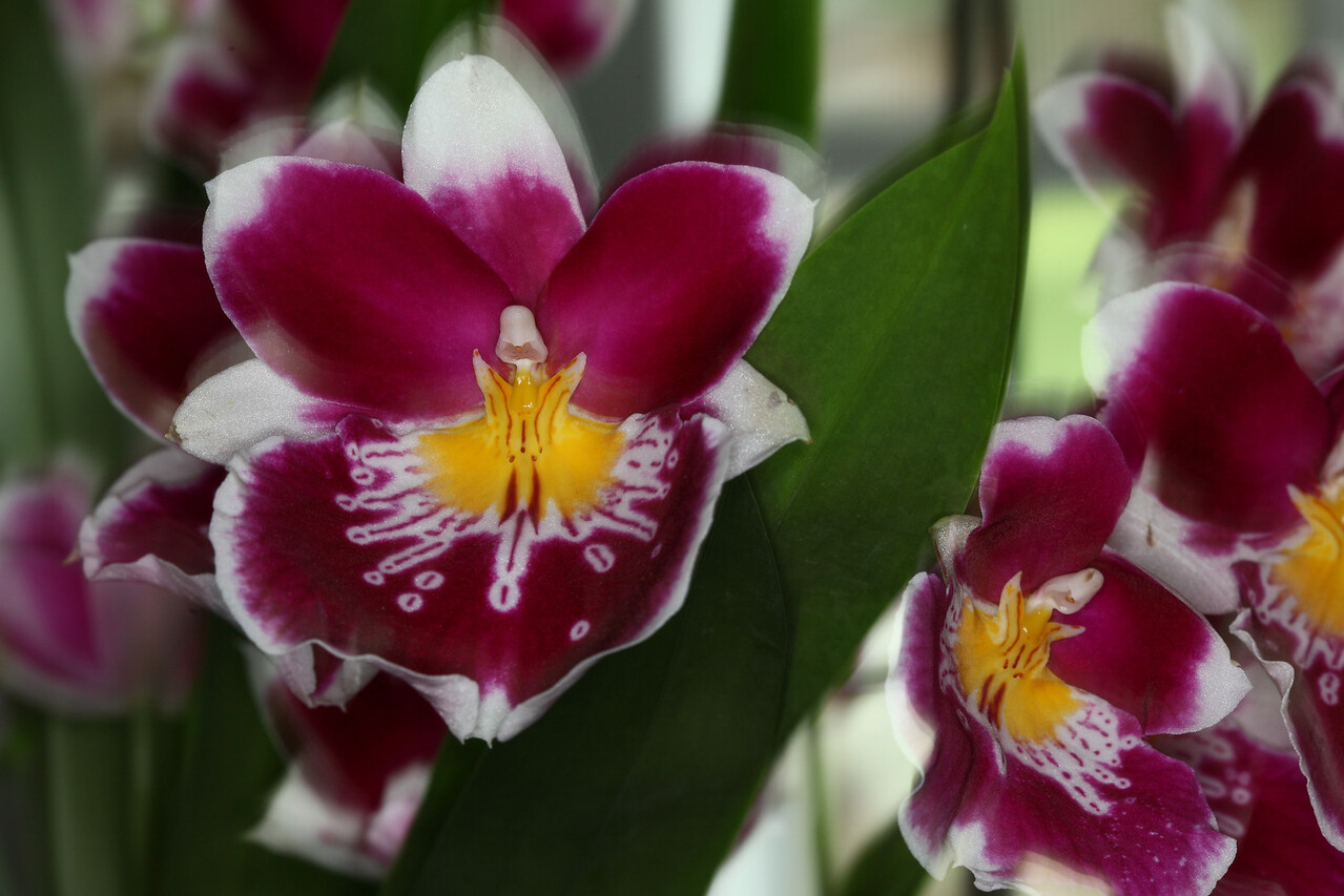 This Orchid is been one of Cathy's best this spring.