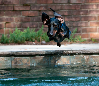 Diving Dachshund