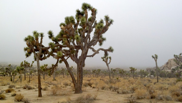 Joshua Trees with impending rainstorm behind