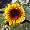 One of the many sunflowers at the pumpkin patch.