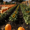 A look at sunflowers in the pumpkin patch.