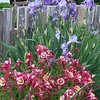 Columbines and Irises
