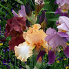 Irises at Crossroads