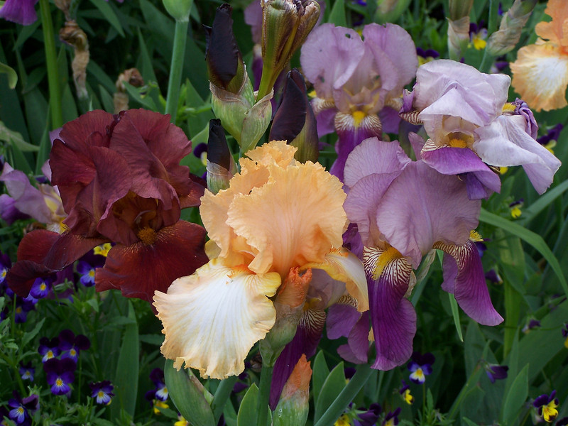 Irises of a different color