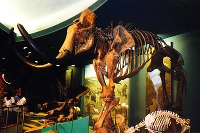 A mastodon at the Natural History Museum