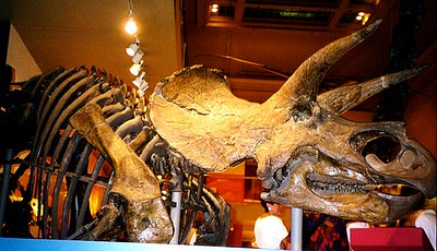 A triceratop at the Natural History Museum
