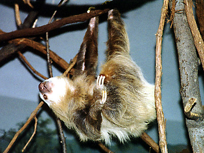A sloth at the Philadelphia Zoo.