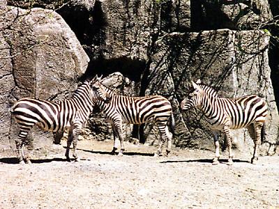 Zebras at the Philadelphia Zoo.