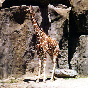 A giraffe, which is Kathy's favorite animal, at the Philadelphia Zoo.