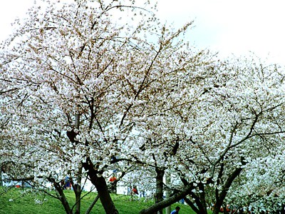 Cherry tree blossoms on the National Mall near the Washington Monument.