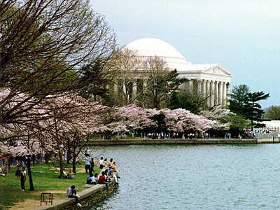 Cherry tree blossoms around the Tidal Basin at the Thomas Jefferson Memorial.