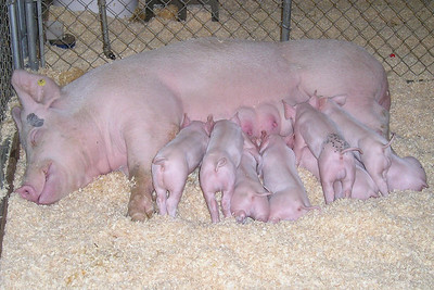 A pig and its hungry piglets at the Ventura County Fair.