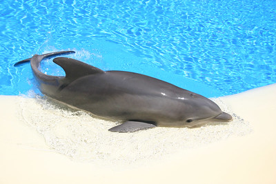 There are no shows at the Dolphin Habitat at the Mirage Casino. This dolphin was just playing and had beached himself several times.