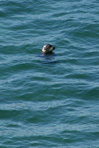 A seal checking out his surroundings at El Capitan State Beach.