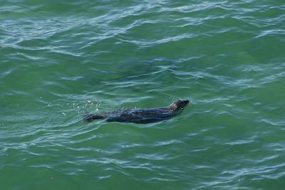 A seal swimming along the beach at El Capitan State Beach.