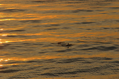 Dolphins at sunset at El Capitan State Beach.
