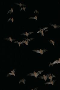Mexican free-tailed bats emerging from their roosts under the Congress Avenue Bridge.