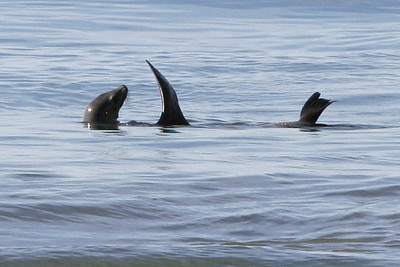 One of the things we really like about El Capitan State Beach is you usually get to see sea lions play in the ocean.