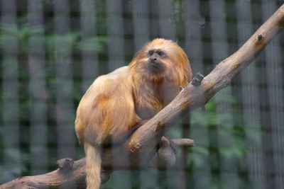 The Golden Lion Tamarin live in the coastal lowland Amazon rainforest of Brazil. Los Angeles Zoo.