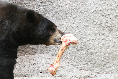 A bear chewing on a bone at the Los Angeles Zoo.