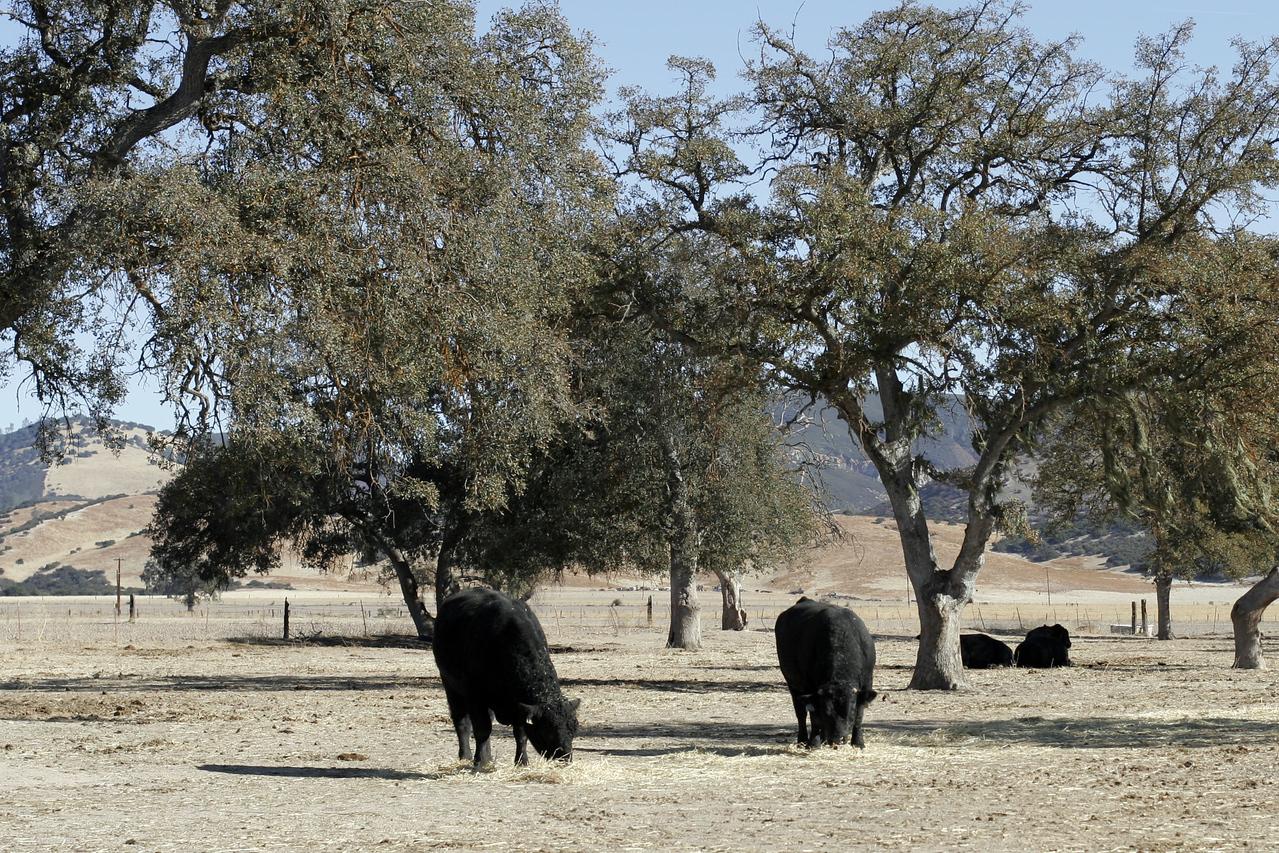 Roth Cattle bulls.