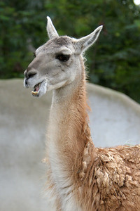 Guanaco at the San Diego Zoo. The Guanaco live in South America and prefer dry, open country, either mountains or plains.