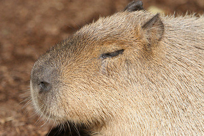 Capybara (Hydrochaeris hydrochaeris) at the San Diego Zoo. Capybara live in South America in densely vegetated areas around lakes, rivers, marshes and swamps.