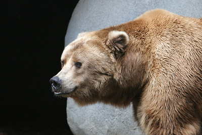 An Alaskan Peninsula Brown Bear at the San Diego Zoo. These bears live in the western tip of the Alaskan peninsula in tundra, apline meadows and coastlines.