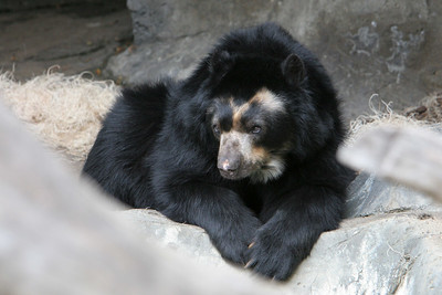 Spectacled Bear at the San Diego Zoo. Spectacled bears, and endangered species, live in South America in high-altitude humid forests and grasslands.