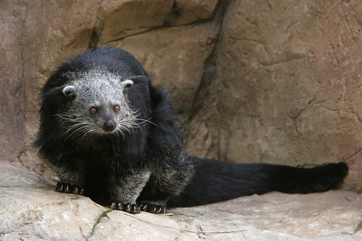Malayan Binturong at the San Diego Zoo. Malayan Binturongs live up in the trees in the rain forests of Malaysia, in Southwest Asia. They are omnivores, which means they eat not only fruits and leaves, but also small animals, such as birds.