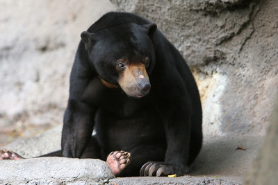 Sun Bear at the San Diego Zoo. Sun bears live in the dense tropical and subtropical forests of Thailand, Cambodia, Vietnam, Laos, Burma, the Malay Peninsula, Sumatra and Borneo. The sun bear is the smallest of the world's eight bear species, about half the size of the American black bear.