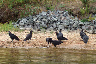 While Kathy headed back to California for a visit, Pat, Sydney and Christopher went camping and boating at Lake Anna State Park. On our first day on the water, we saw these Black Vultures eating on a dead fish. (Image taken with FinePix F10 at ISO 200, f5.0, 1/300 sec and 24mm)
