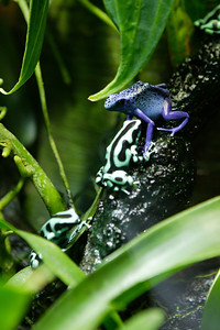 Poison dart frog (Dendrobates sp.). Class: Amphibia. Family: Dendrobatidae. Size: Up to 2.5 inches. Food: Ants, termites, other insects. Range: Central and South America. Habitat: Variable, moist tropical areas. Cycle: Most lay small numbers of eggs and provide some parental care. National Aquarium in Baltimore (Image taken with Canon EOS-1DS at ISO 400, f2.8, 1/60 sec and 70mm)