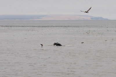 A humpback whale just offshore in Pismo Beach (01 Aug 2009) (Image taken with Canon EOS 20D at ISO 400, f16.0, 1/800 sec and 70mm)