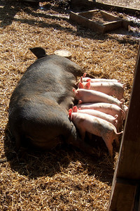 A mother pig and piglets at the Cox Farms Pumpkin Patch (Image taken by Sydney J. Kane on 03 Nov 2009 with FinePix F10 at ISO 80, f5.0, 1/250 sec and 12.2mm)