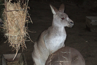 Kangaroo at the Nowra Wildlife Park (08 Jul 2009) (Image taken by Kathy T. Kane with FinePix F10 at ISO 800, f4.7, 1/100 sec and 20.1mm)