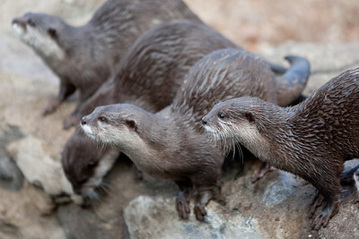Asian small-clawed otters at the National Zoo (Image taken by Patrick R. Kane on 30 Dec 2010 with Canon EOS-1D Mark III at ISO 400, f2.8, 1/1000 sec and 200mm)