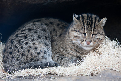 Fishing cat at the National Zoo (Image taken by Patrick R. Kane on 30 Dec 2010 with Canon EOS-1D Mark III at ISO 400, f2.8, 1/200 sec and 120mm)