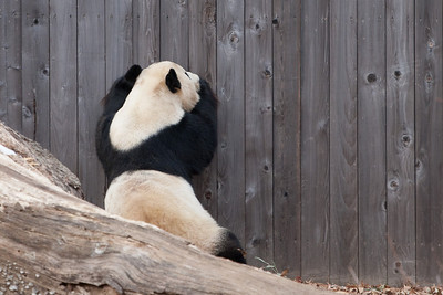A giant panda at the National Zoo (Image taken by Sydney J. Kane on 30 Dec 2010 with Canon EOS 20D at ISO 400, f4.0, 1/640 sec and 200mm)
