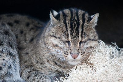 Fishing cat at the National Zoo (Image taken by Patrick R. Kane on 30 Dec 2010 with Canon EOS-1D Mark III at ISO 400, f2.8, 1/160 sec and 200mm)