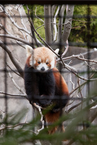 Red panda at the National Zoo (Image taken by Sydney J. Kane on 30 Dec 2010 with Canon EOS 20D at ISO 400, f6.3, 1/160 sec and 70mm)