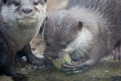 Asian small-clawed otters at the National Zoo (Image taken by Patrick R. Kane on 30 Dec 2010 with Canon EOS-1D Mark III at ISO 400, f2.8, 1/500 sec and 170mm)
