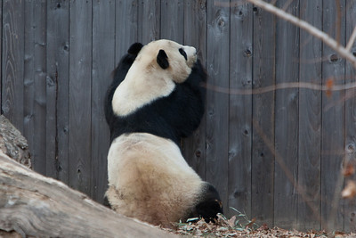 A giant panda at the National Zoo (Image taken by Patrick R. Kane on 30 Dec 2010 with Canon EOS-1D Mark III at ISO 400, f4.0, 1/640 sec and 280mm)