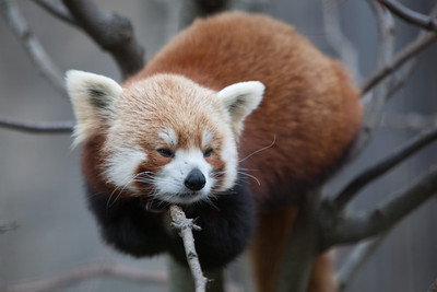 Red panda at the National Zoo (Image taken by Patrick R. Kane on 30 Dec 2010 with Canon EOS-1D Mark III at ISO 400, f2.8, 1/800 sec and 200mm)