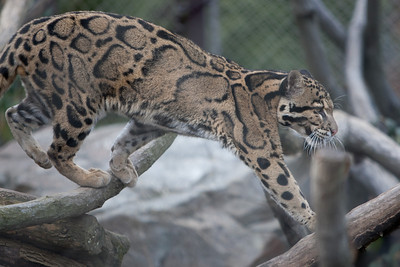 Clouded leopard at the National Zoo (Image taken by Patrick R. Kane on 30 Dec 2010 with Canon EOS-1D Mark III at ISO 400, f2.8, 1/640 sec and 200mm)