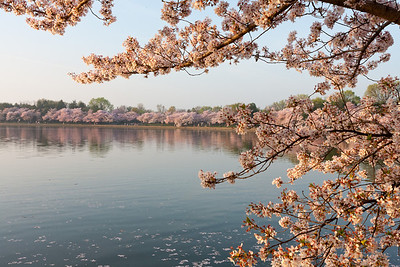 Cherry blossoms around the Tidal Basin. This year's National Cherry Blossom Festival honors the 100-year anniversary of the gift of trees (Image taken by Patrick R. Kane on 23 Mar 2012 with Canon EOS 5D at ISO 100, f22.0, 1/13 sec and 35mm)